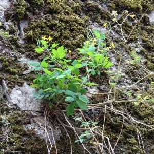 Photographie n°345142 du taxon Chelidonium majus subsp. majus