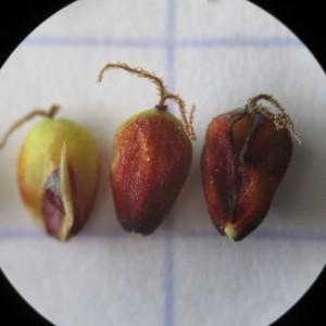 Photographie n°345192 du taxon Carex flacca Schreb. [1771]
