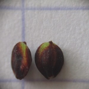 Photographie n°345193 du taxon Carex flacca Schreb. [1771]