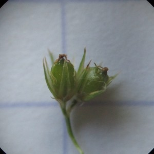 - Juncus conglomeratus L.