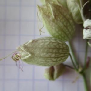 Photographie n°345261 du taxon Silene vulgaris (Moench) Garcke [1869]