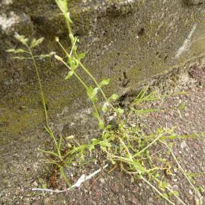 Photographie n°345297 du taxon Stellaria media (L.) Vill. [1789]