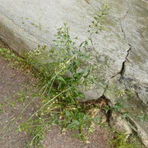 Photographie n°345309 du taxon Capsella bursa-pastoris (L.) Medik.