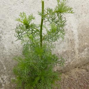 Photographie n°345311 du taxon Tripleurospermum inodorum (L.) Sch.Bip. [1844]