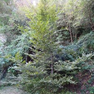 Photographie n°345474 du taxon Fagus sylvatica L.