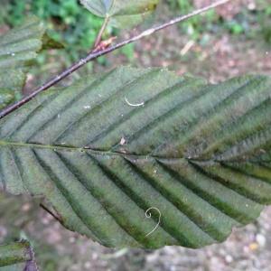 Photographie n°345478 du taxon Fagus sylvatica L.