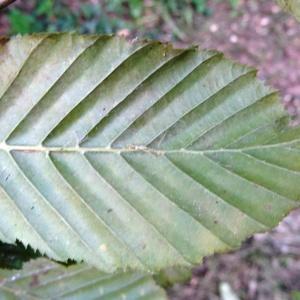 Photographie n°345479 du taxon Fagus sylvatica L.