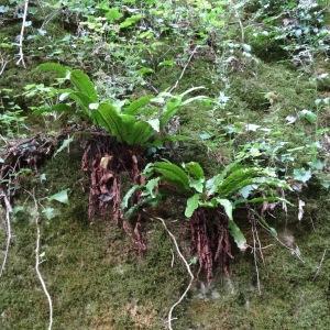 Photographie n°345481 du taxon Asplenium scolopendrium subsp. scolopendrium