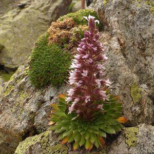 Saxifraga florulenta Moretti (Saxifrage à fleurs nombreuses)