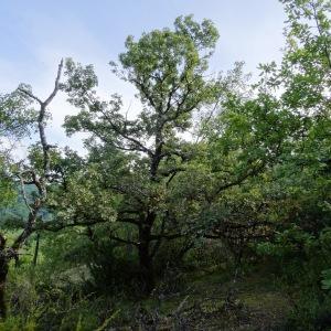 Photographie n°345637 du taxon Quercus pubescens subsp. pubescens