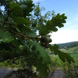 Photographie n°345668 du taxon Quercus petraea subsp. petraea