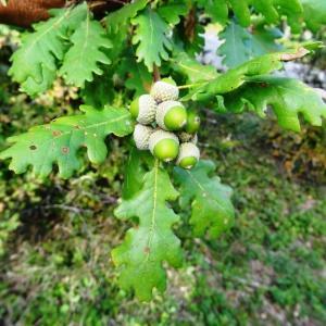 Photographie n°345671 du taxon Quercus petraea subsp. petraea