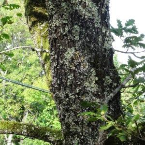 Photographie n°345672 du taxon Quercus petraea subsp. petraea