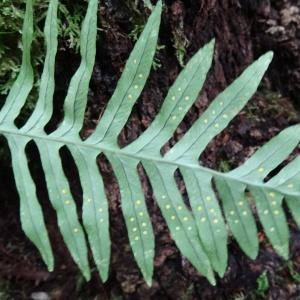 - Polypodium cambricum L. [1753]