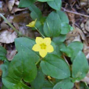 Photographie n°346033 du taxon Lysimachia nemorum L.