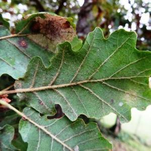 - Quercus pubescens subsp. pubescens