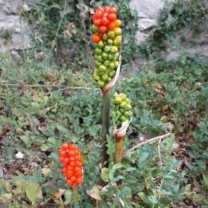 - Arum maculatum L. [1753]