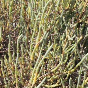 Photographie n°346269 du taxon Salicornia perennis Mill.