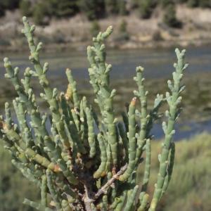 - Salicornia perennis Mill.