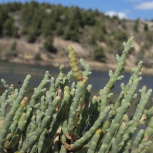Photographie n°346276 du taxon Salicornia perennis Mill.