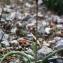 Liliane Roubaudi - Tulipa sylvestris subsp. australis (Link) Pamp.