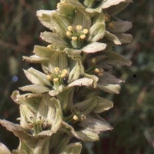 Veratrum album subsp. lobelianum (Bernh.) K.Richt. [1890] (Vératre commun)