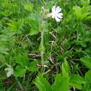 Photographie n°346588 du taxon Silene latifolia subsp. alba (Mill.) Greuter & Burdet [1982]