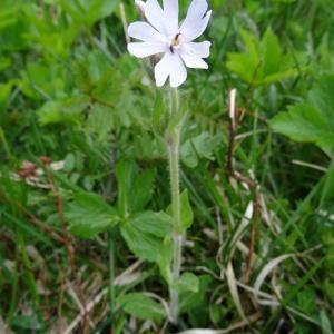 Photographie n°346589 du taxon Silene latifolia subsp. alba (Mill.) Greuter & Burdet [1982]