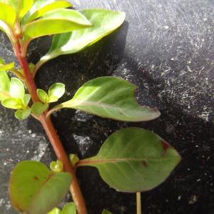 - Ludwigia palustris (L.) Elliott [1817]