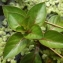 Jean-Claude Echardour - Ludwigia palustris (L.) Elliott [1817]