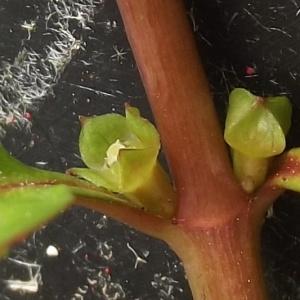 Ludwigia palustris (L.) Elliott (Ludwigie des marais)