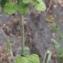 Liliane Roubaudi - Clinopodium nepeta (L.) Kuntze [1891]