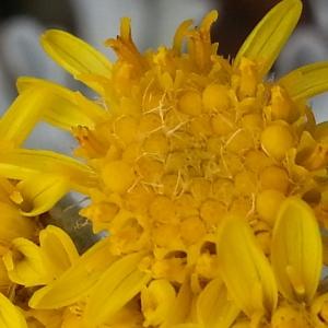 Photographie n°347500 du taxon Senecio leucophyllus DC. [1813]