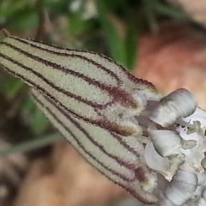 Photographie n°347693 du taxon Silene ciliata Pourr. [1788]