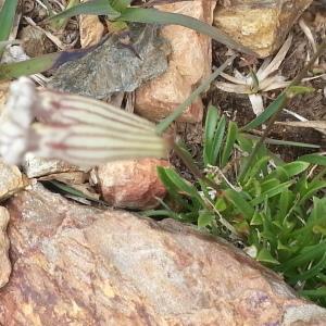 Photographie n°347694 du taxon Silene ciliata Pourr. [1788]