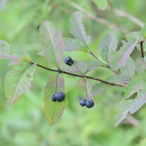 Photographie n°371617 du taxon Lonicera nigra L. [1753]