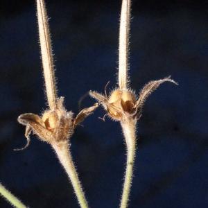 Photographie n°372897 du taxon Geranium sylvaticum L. [1753]