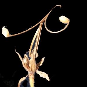 Photographie n°372993 du taxon Geranium sylvaticum L. [1753]
