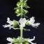 Liliane Roubaudi - Ocimum basilicum L. [1753]
