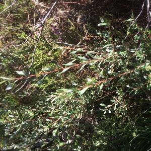 Photographie n°378953 du taxon Salix repens L. [1753]
