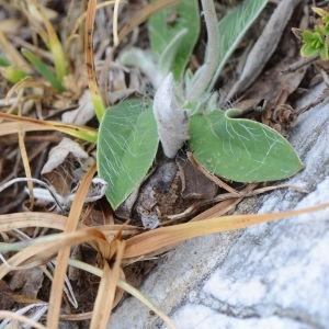 Photographie n°395850 du taxon Pilosella peleteriana (Mérat) F.W.Schultz & Sch.Bip. [1862]