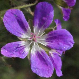 Photographie n°397887 du taxon Geranium sylvaticum L. [1753]