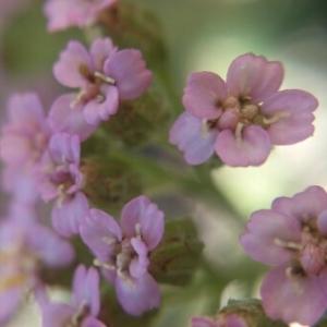Photographie n°404461 du taxon Achillea distans Waldst. & Kit. ex Willd. [1803]