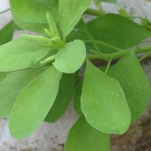 Photographie n°410322 du taxon Euphorbia peplus L. [1753]