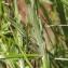 John De Vos - Carex hirta L.