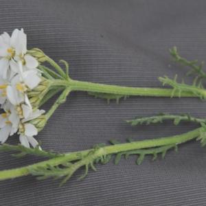 Photographie n°448867 du taxon Achillea erba-rotta subsp. moschata (Wulfen) Vacc. [1909]