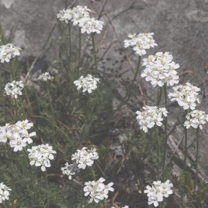 - Achillea erba-rotta subsp. moschata (Wulfen) Vacc.