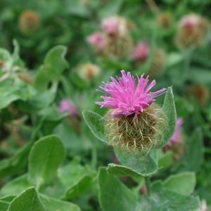 - Centaurea pectinata L. [1763]