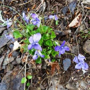 Photographie n°459215 du taxon Viola canina L.