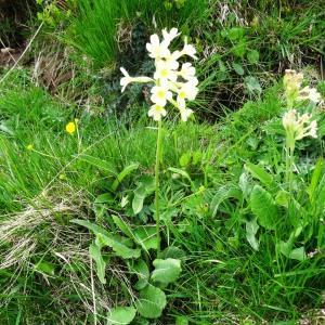 Photographie n°462892 du taxon Primula elatior subsp. elatior